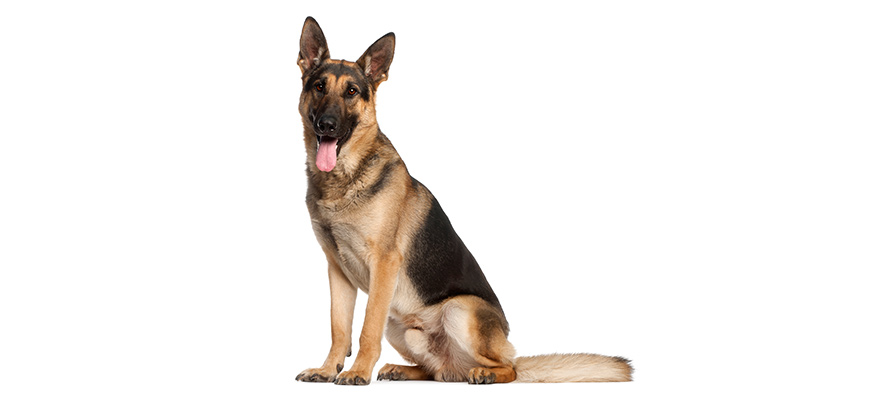 German Shepherds dog food