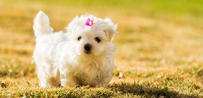 Maltipoo Maltese Poodle Mix Breed Facts Temperament