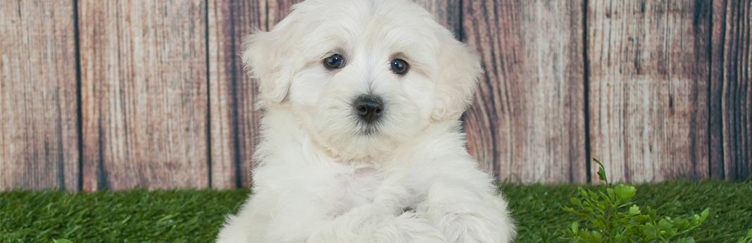 Maltipoo-dog-breed