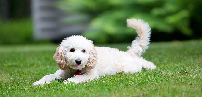 Poodle dog