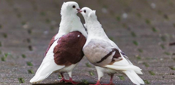 Types of doves and pigeons