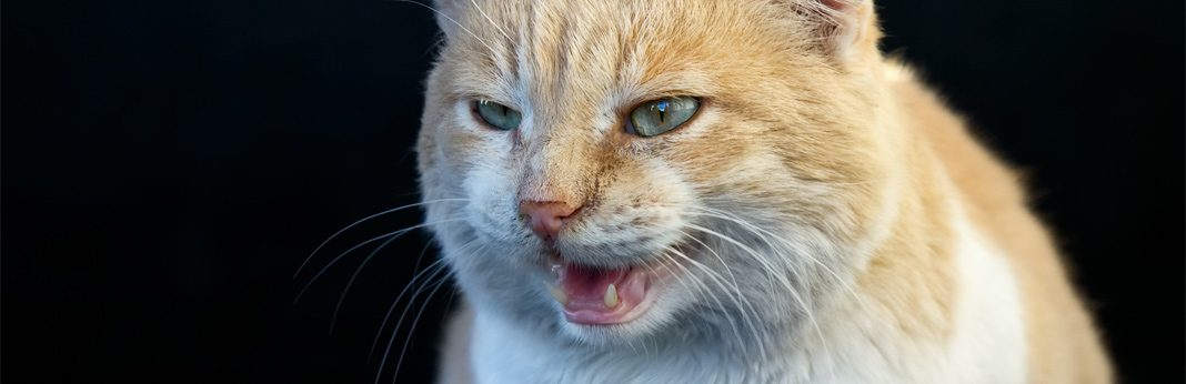aggression in cats - causes and symptoms