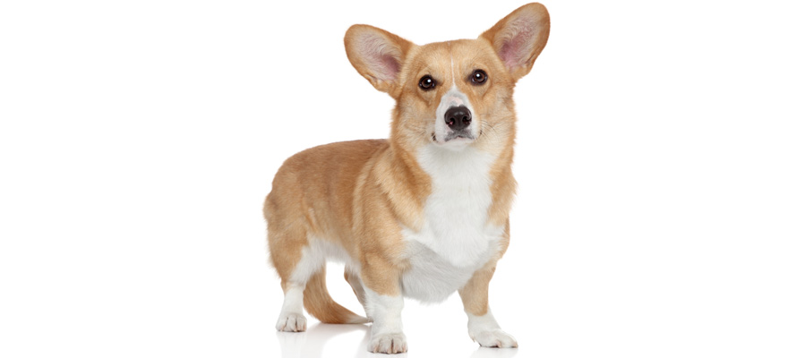 corgi dog food