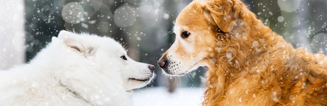 husky-golden-retriever-mix—breed-facts-&-temperament