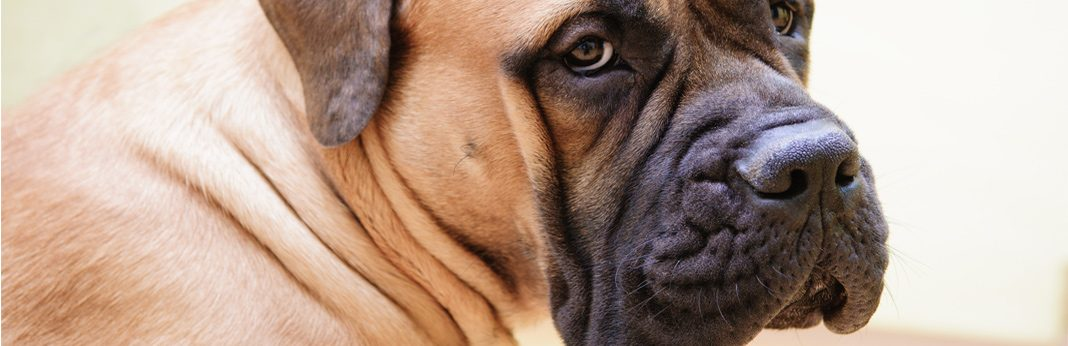 pitbull mastiff mix: breed facts & temperament