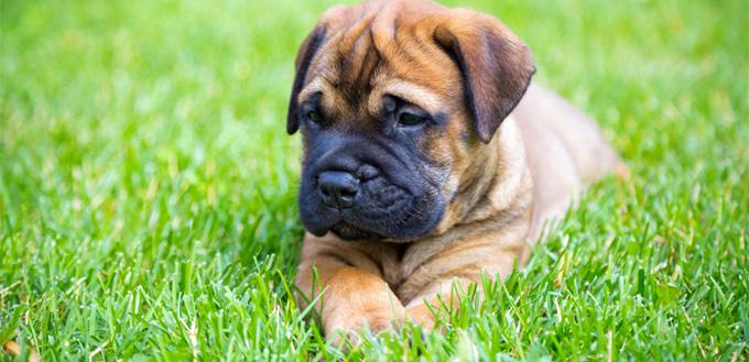 pitbull mastiff puppy