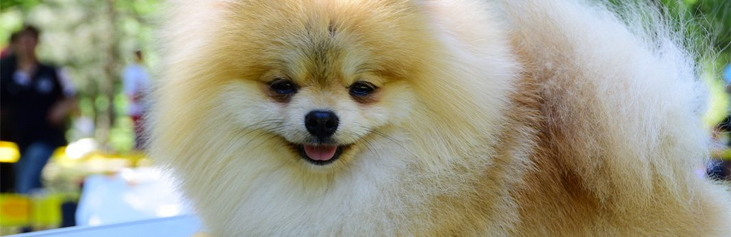 pomchi (chihuahua pomeranian mix) - breed facts & temperament