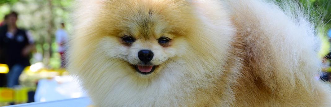 pomchi-(chihuahua-pomeranian-mix)—breed-facts-&-temperament