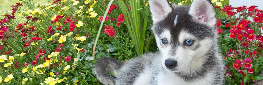 pomsky-(siberian-husky-pomeranian-mix)—breed-facts-&-temperament
