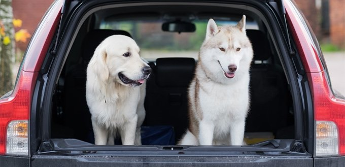 retriever & husky