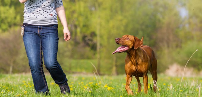 rhodesian ridgeback running with the owner