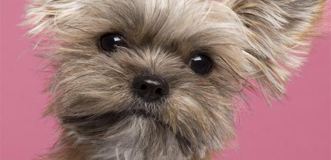 shih tzu yorkie dog mix
