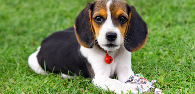beagle puppy on the grass