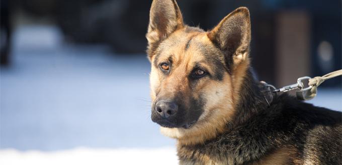 bigger dog as a guard