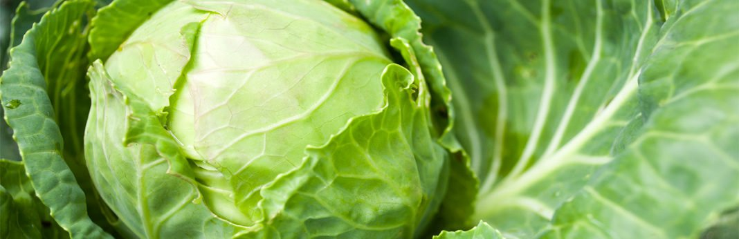 can dogs eat cabbage - nutritional guide