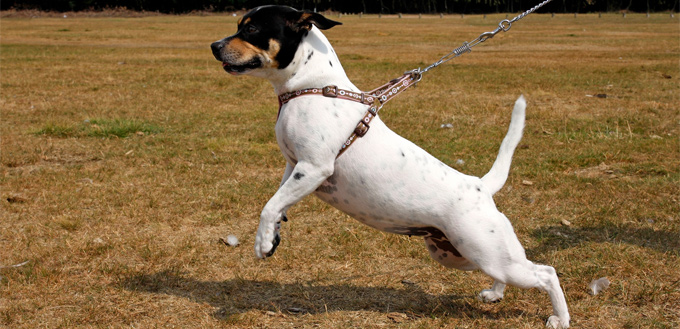 chest harness for dogs