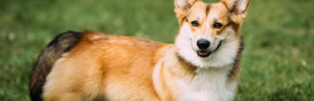 corgi german shepherd mix: breed facts & temperament