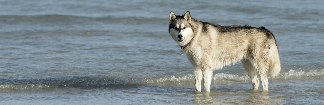 do huskies like to swim