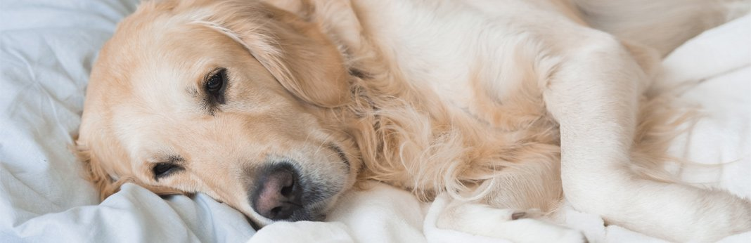 dog-dementia—signs-and-symptoms