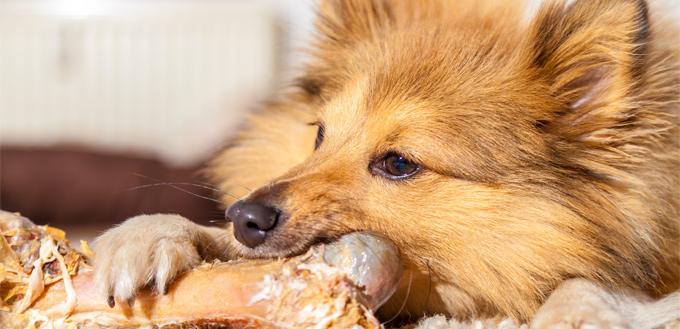 dog eating rawhide food