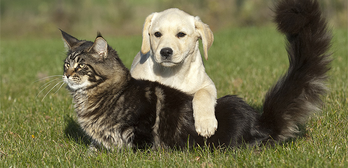 dog humping a cat