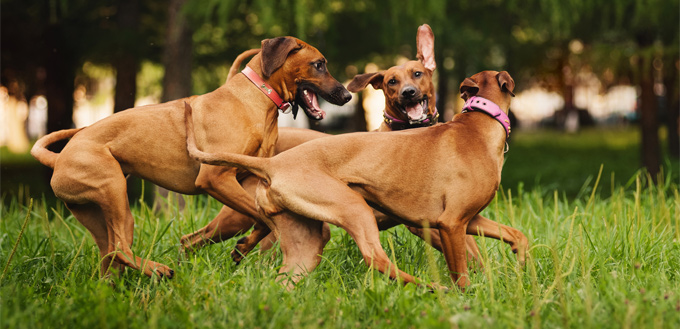 dogs playing interactively
