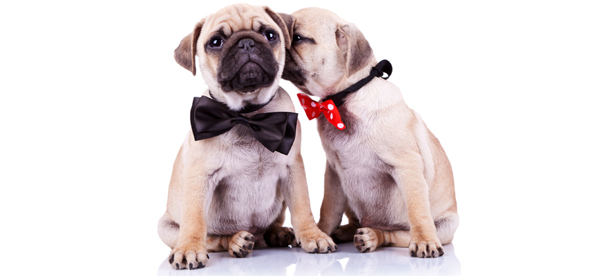 dogs with a bow
