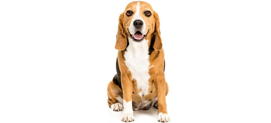 food for beagle