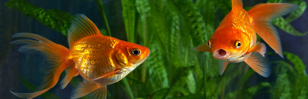 how-to-determine-the-sex-of-your-fish