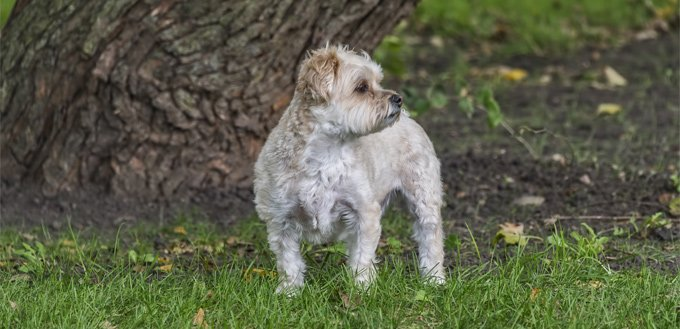Morkie Maltese Yorkie Mix Breed Facts Temperament
