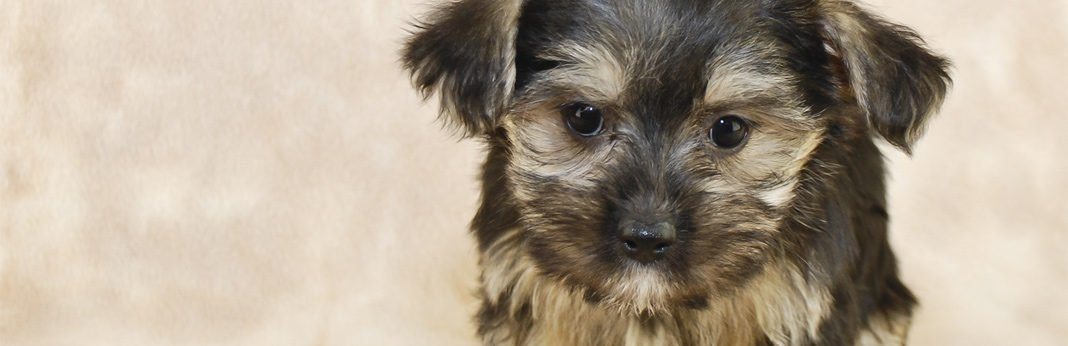 morkie (maltese yorkie mix) - breed facts & temperament
