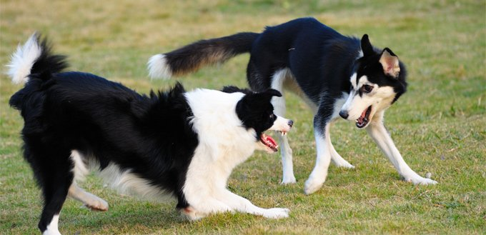 possessive dogs fighting for a territory
