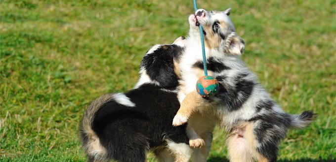 puppies playing with a rope and a stick