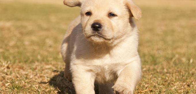 puppy recall training