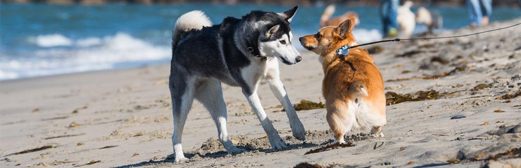 siborgi-(corgi-husky-mix)-breed-facts-&-temperament