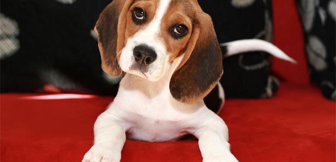 snoopy - beagle breed