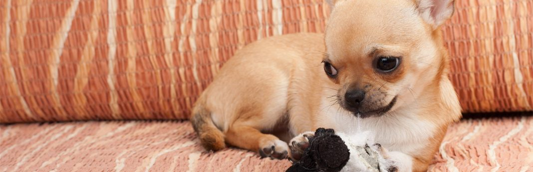 teacup chihuahua: breed facts & temperament