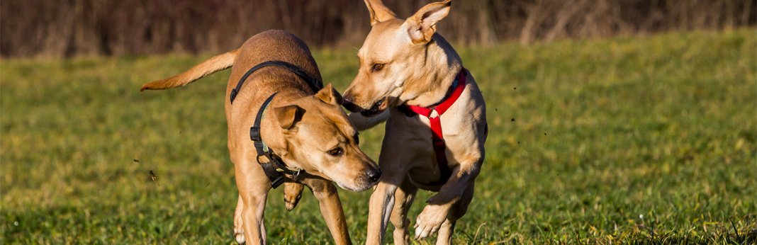 why-do-female-dogs-hump