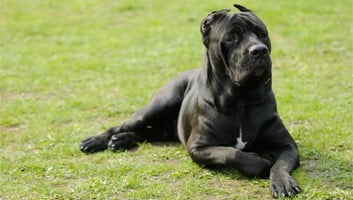 Best Dog Food For Cane Corso Review Amp Buying Guide In 2019