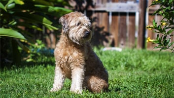 Best Dog Food for Goldendoodles (Review & Buying Guide) in 2019