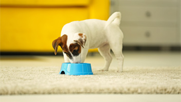best dog food for jack russells