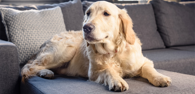 blind dog on the couch
