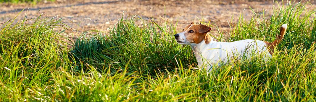 broken dog tail – symptoms & treatments
