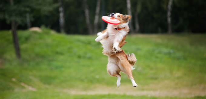 collie with a frisbee