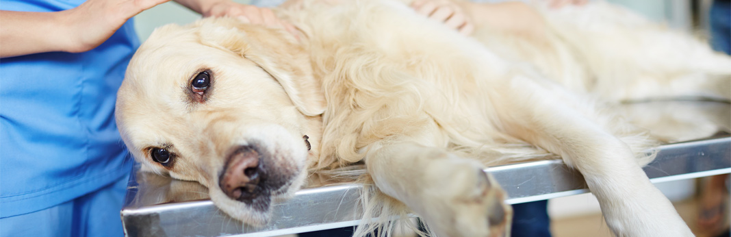 diet tips for dogs with bladder stones