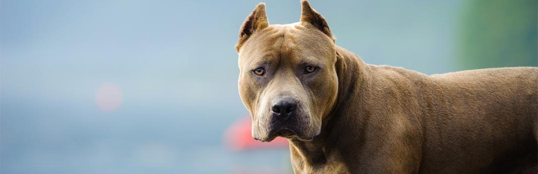 dog-ear-cropping