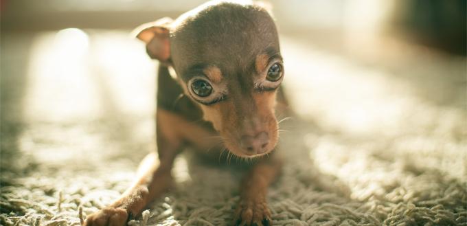 dog with phobia