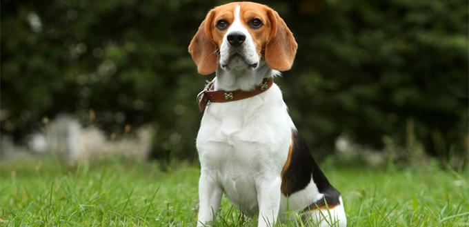 friendly beagle