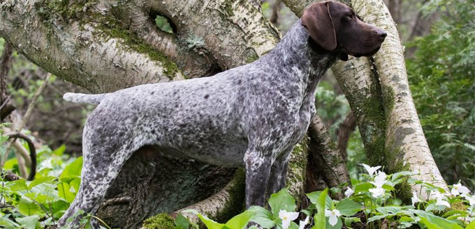 friendly german shorthaired pointer