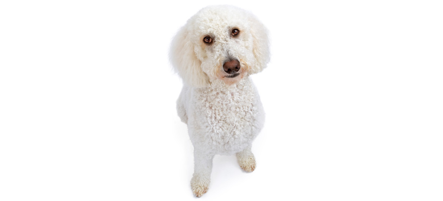 goldendoodle dog food